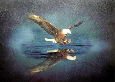 Seeadler Kunstdruck