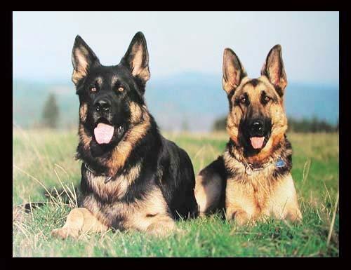 Zwei Deutsche Schäferhunde, Poster