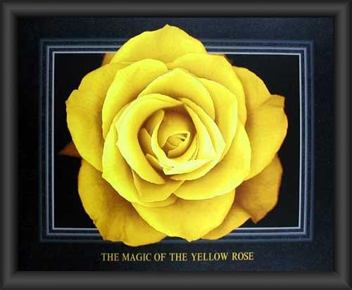 Gelbe Rose, Magic of the Yellow Rose