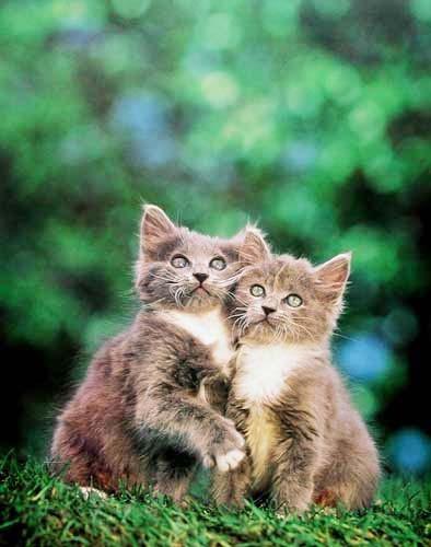 Graue Katzen
