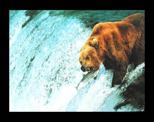 Grizzlybär beim Lachsfang Poster