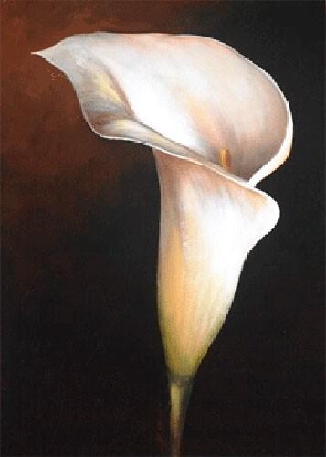 Weiße Calla-Lilie I, S. Sauci