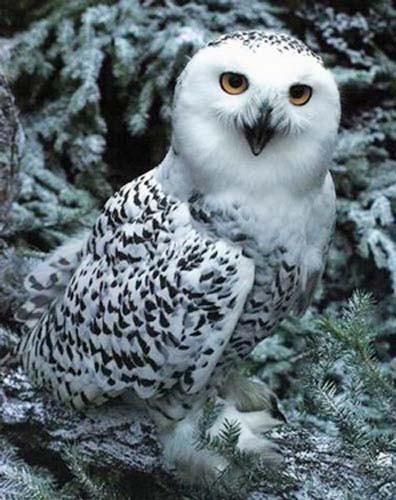 Polar Owl, B. Coleman