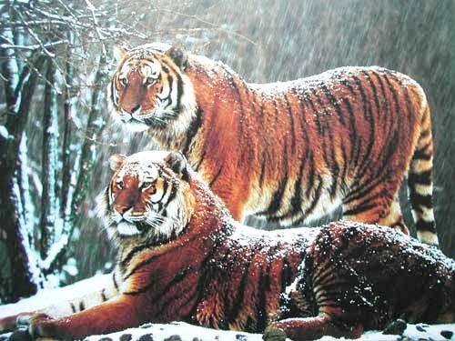 Sibirische Tiger im Schnee